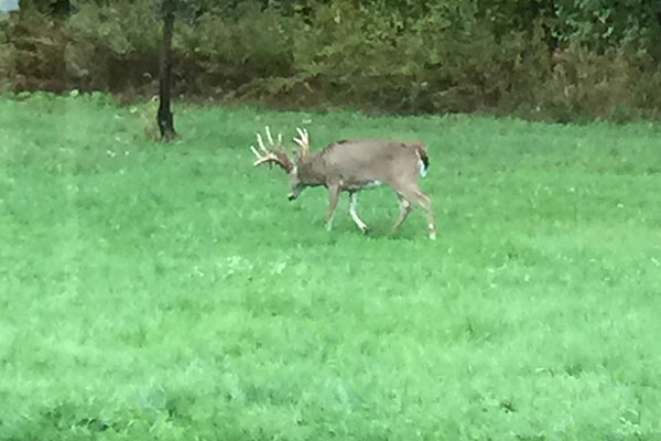 Oak Ridge Whitetails